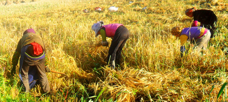 Tibet: Women harvesting barley, the most widespread crop in the Tibetan areas. Photo: Sangjike.